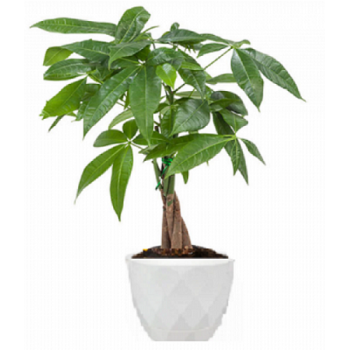 Pachira  plant
