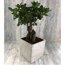 Bonsai Ficus  plant