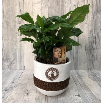 Coffea  plant
