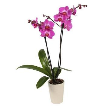 Orchid Phalaenopsis pink