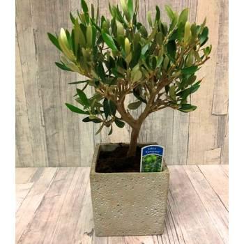 Mini size Οlive plant