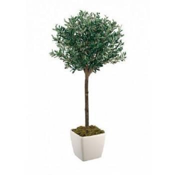 Οlive plant