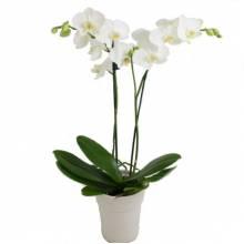 Orchid Phalaenopsis white
